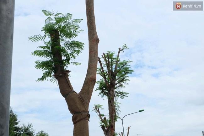 Tranh cãi về việc trồng cây phượng đỏ ở dải phân cách trên nhiều tuyến phố Hà Nội - Ảnh 6.