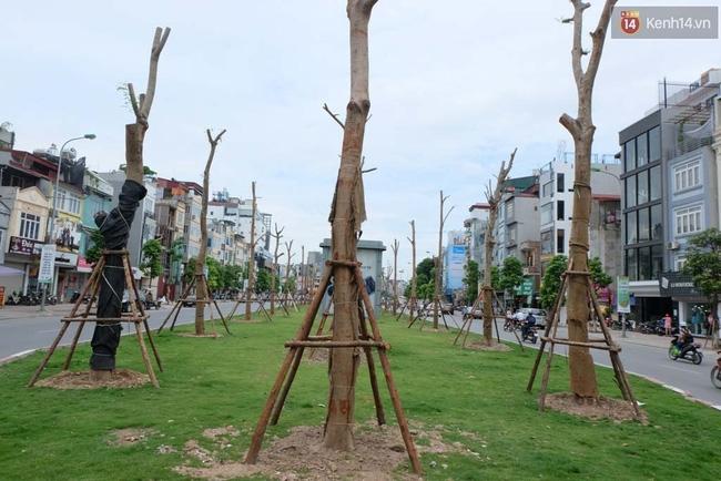 Tranh cãi về việc trồng cây phượng đỏ ở dải phân cách trên nhiều tuyến phố Hà Nội - Ảnh 9.