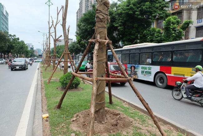 Tranh cãi về việc trồng cây phượng đỏ ở dải phân cách trên nhiều tuyến phố Hà Nội - Ảnh 12.