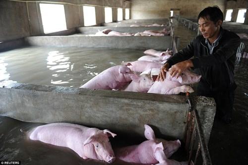 Nông dân khóc ròng nhìn 3.000 con lợn chìm trong nước lũ - ảnh 3