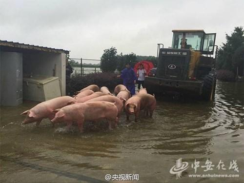 Nông dân khóc ròng nhìn 3.000 con lợn chìm trong nước lũ - ảnh 5
