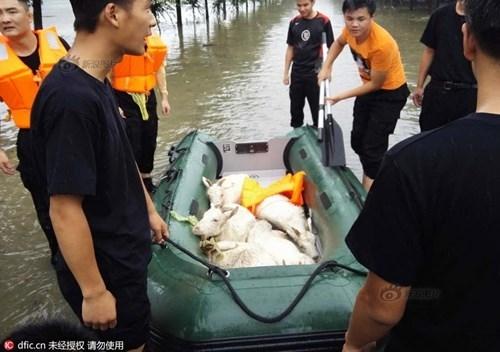 Nông dân khóc ròng nhìn 3.000 con lợn chìm trong nước lũ - ảnh 6