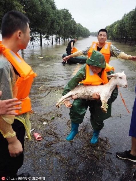 Nông dân khóc ròng nhìn 3.000 con lợn chìm trong nước lũ - ảnh 7