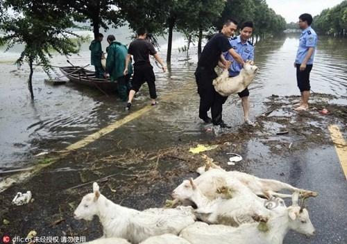 Nông dân khóc ròng nhìn 3.000 con lợn chìm trong nước lũ - ảnh 8