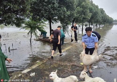 Nông dân khóc ròng nhìn 3.000 con lợn chìm trong nước lũ - ảnh 9