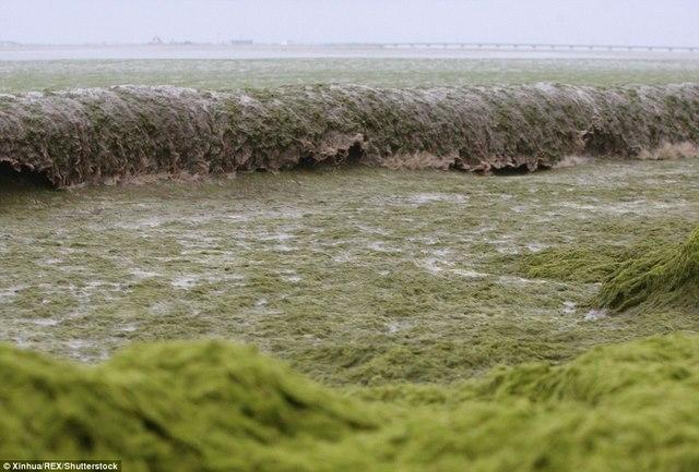 Ảnh: Tảo sinh sôi đột biến, phủ xanh lè bờ biển ở TQ - 9