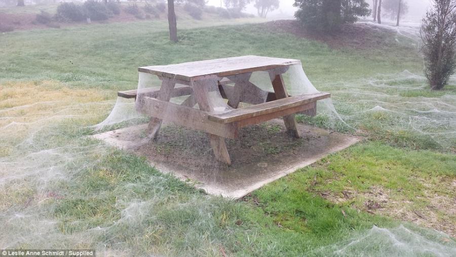 Triệu con nhện giăng tơ phủ trắng xóa công viên ở Úc - 1