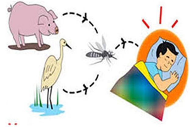 Nguyên nhân gây bệnh là do muỗi đốt vào động vật nhiễm virus viêm não B sau đó đốt người và truyền virus sang người. Ảnh: Internet