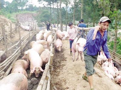 """Lợn hơi HN rớt giá: Người nuôi lao đao vì chạy theo """"sốt ảo"""""""