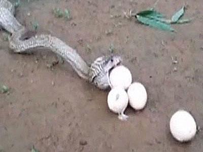 Hổ mang chúa khổ sở nôn 6 quả trứng vì quá tham