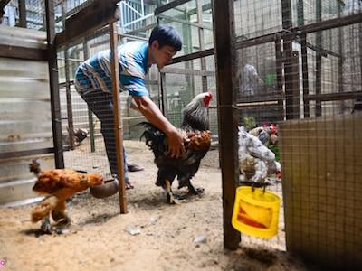 Gà kỳ lân năm ngón giá chục triệu tại Sài Gòn