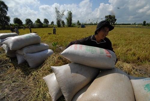 Xuất khẩu gạo hàng đầu thế giới, nông dân vẫn nghèo: Sẽ giảm trồng lúa - ảnh 1