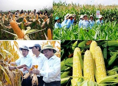 xuất khẩu gạo, nhập khẩu ngô, chuyển đổi cây trồng, chuyển trồng lúa sang trồng ngô