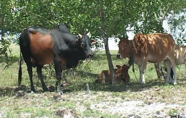 Đàn bò nhà bà Kính buộc ở sau nhà.