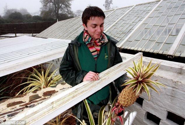 Anh: Mất 8 năm cuộc đời để trồng 1 quả dứa - 3