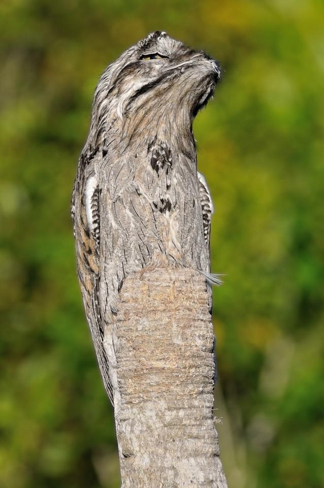 Chú chim biến thành... thân cây trong tích tắc - 2