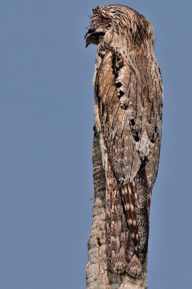 Chú chim biến thành... thân cây trong tích tắc - 3