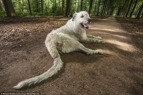 Chú chó có chiếc đuôi dài nhất thế giới (hơn 76cm) đang sống với người chủ tên Ilse Loodts ở Westerlo, Bỉ.