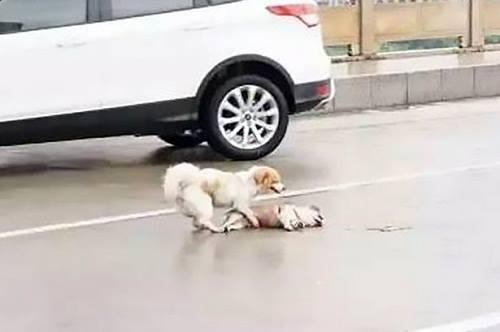 Chú chócòn sống đánh hơi và sủa bên cạnh xác người bạnẢnh:Mirror