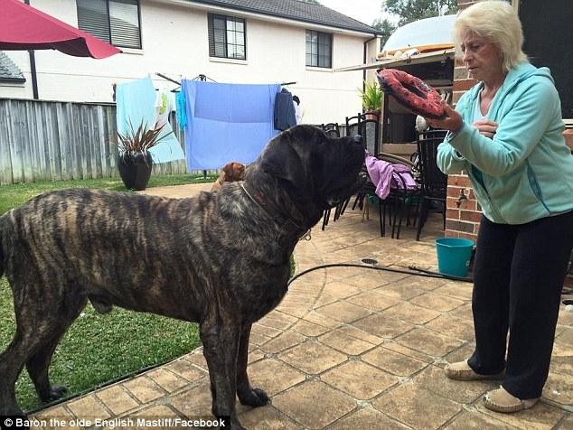 Chú chó to nhất nước Úc ăn hết hơn 4 triệu tiền thức ăn mỗi tuần - Ảnh 4.