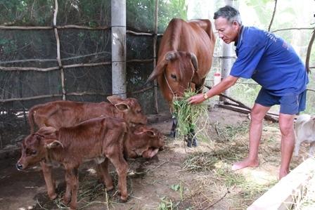 Ông Nghĩa tất bật chăm sóc, cho bò uống thêm sữa