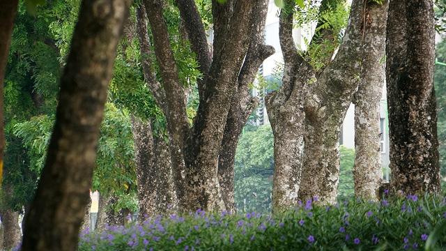 Đoạn đường có tới 109 cây xanh, trong đó có 24 cây đại thụ có kích thước lớn sẽ được cắt tỉa rồi đánh gốc để chuyển đến một vươn ươm chăm sóc.
