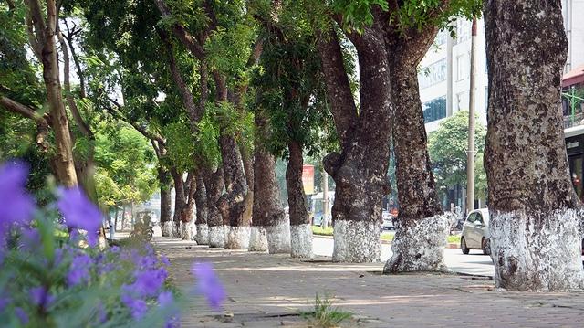 Theo kế hoạch, các cây được cắt tỉa và dịch chuyển sẽ được đưa về vườn ươm ở huyện Văn Giang, Hưng Yên.