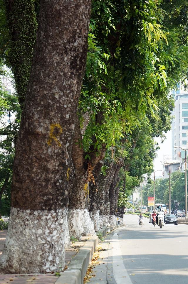Nhiều cây đại thụ ở đoạn đường này rất lớn, có cây có đường kính lên đến hơn 100cm.  Dự kiến, trong vòng khoảng 3 tháng, toàn bộ số cây trên đường Kim Mã sẽ được dịch chuyển về vườn ươm. Riêng cây đa trước cửa đền Voi Phục sẽ không bị di chuyển mà chỉ cắt tỉa cành cho gọn sao cho thuận lợi cho việc thi công xây dựng tuyến đường sắt.