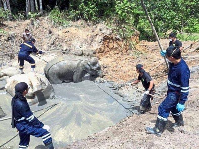 Tính nhầm độ sâu hố bùn, 7 voi lùn chết thảm - 2