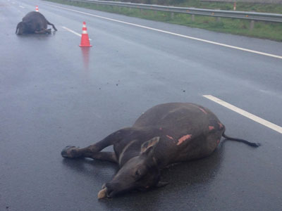 Trâu bị tông chết trên cao tốc TP.HCM - Long Thành - Dầu Giây