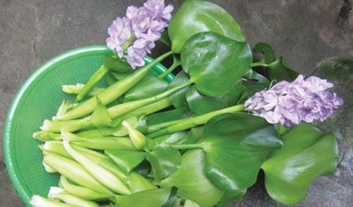 bèo tây, lục bình, món ăn từ lục bình, cách chế biến bèo tây, dân giàu hà thành, dân hà nội ăn bèo tây