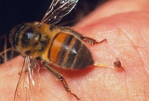 Kết quả hình ảnh cho Bé gái 11 tuổi bị ong đốt tử vong