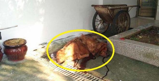 Chó ngao Tây Tạng ăn không đủ no, cắn chủ nhân thập tử nhất sinh