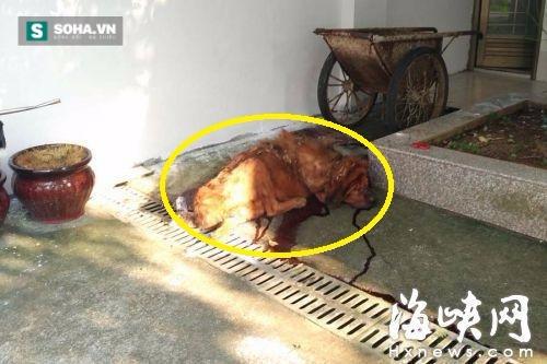 Chó ngao Tây Tạng ăn không đủ no, cắn chủ nhân thập tử nhất sinh - Ảnh 1.
