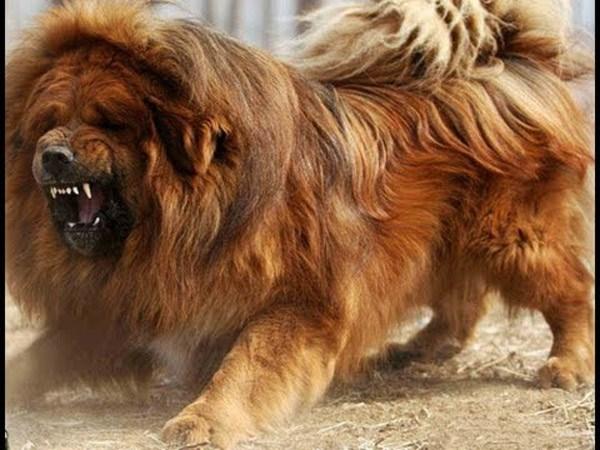 Chó ngao Tây Tạng ăn không đủ no, cắn chủ nhân thập tử nhất sinh - Ảnh 2.