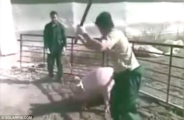 Tây Ban Nha: Hai tên đồ tể tra tấn, giết hại lợn đang mang thai dã man - Ảnh 2.
