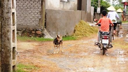 Sáng 29/9, ở xã Hưng Trung nhiều con chó nhà vẫn chạy rong khắp nơi.