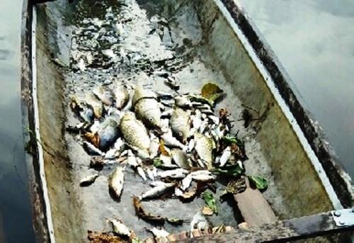 TT-Huế: Cá chết bất thường trên các sông ở Quảng Điền - ảnh 2