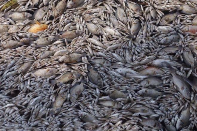 Cá chết trắng ở Hồ Tây: Chưa lần nào bất thường như lần này - Ảnh 2.