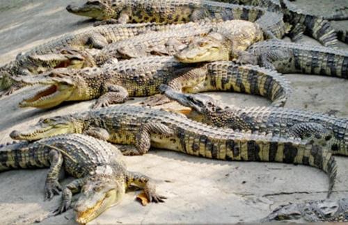 Giá cá sấu ở miền Tây đang xuống thấp nhất trong vòng 6 năm gần đây khiến người nuôi lao đau. Ảnh: Phúc Hưng