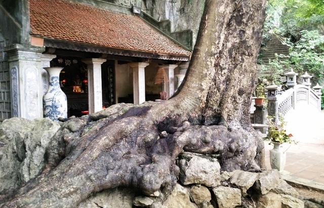 Khoảng 1.000 năm tuổi nên gốc, rễ của cây thị này đã bám chặt, ăn sâu vào đá núi. Nếu không nhìn kỹ sẽ không biết đây là đá, đâu là rễ cây thị.