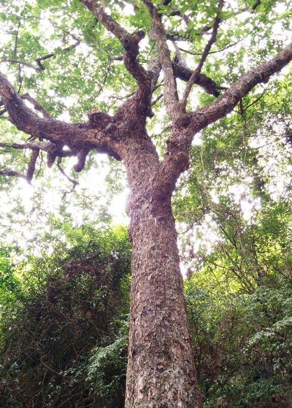 Thân cây thị xù xì, to khoảng hơn 1 người ôm. Từ thân cây chính mọc chĩa ra nhiều cành tỏa đi các hướng khác nhau. Hàng trăm năm qua, cây thị này là nơi che chắn cho Phủ Khống khỏi mọi phong ba bão táp.