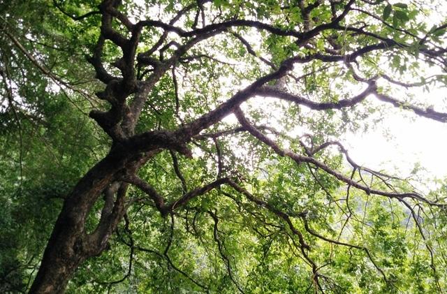 Cây thị đặc biệt cho ra 2 loại quả này thường cho ra nhiều quả nhất vào khoảng trung tuần tháng 8, đúng vào dịp lễ dỗ vua Đinh Tiên Hoàng. Những năm gần đây, cây luôn xanh tốt và nhiều quả khiến nhiều du khách đến tham quan vô cùng thích thú.