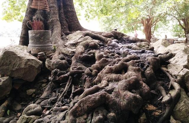 Rễ cây sần sùi nổi lên nhiều các nốt bám chặt vào đá khiến cho cây luôn vững chắc. Trải qua hàng nghìn năm cây vẫn phát triển mạnh mẽ như một biểu tượng của sự trường tồn, trung thành bên Phủ Khống, như 7 vị quan trung thần với vua Đinh.