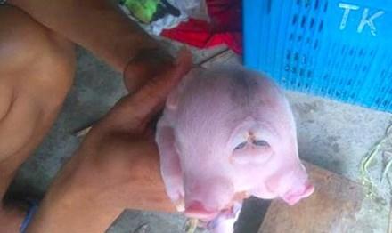 Cận cảnh lợn hai đầu tại Anh Sơn. Ảnh: Báo Nghệ An.