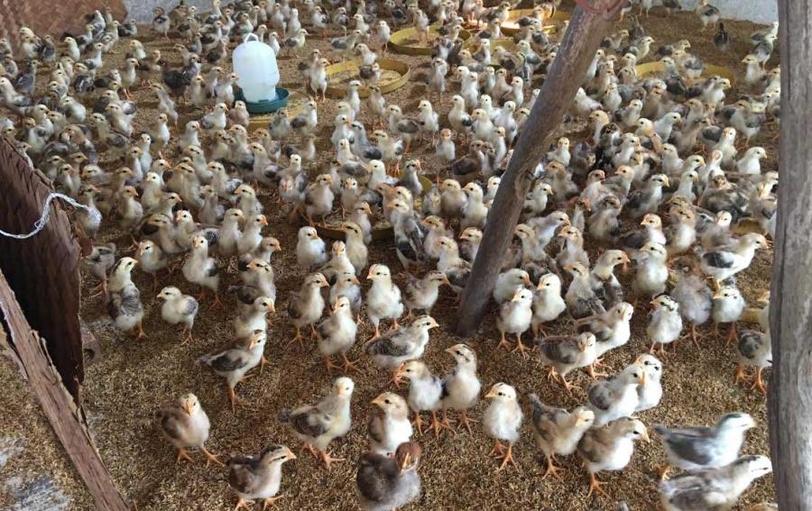 trang trại gà, nuôi gà, trang trại gà không mùi hôi, gà ta vĩnh phúc, gà ta thả vườn, men vi sinh emiser
