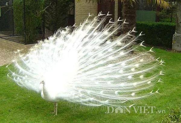 Ngoài chim công tím, hiện trang trại chim của anh Quỳnh còn nuôi một số loại chim công như chim xanh, trắng…