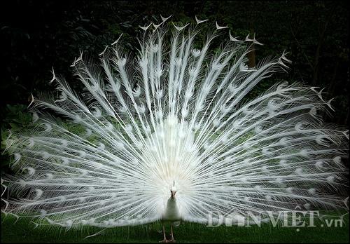 Một chú chim công trắng với điệu múa điêu luyện tại trang trại của gia đình anh Quỳnh.