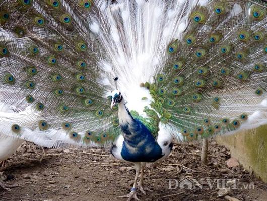 Cận cảnh một chú chim công ngũ sắc quý hiếm  trị giá hàng chục triệu đồng/cặp đang được nuôi tại trang trại của anh Quỳnh.