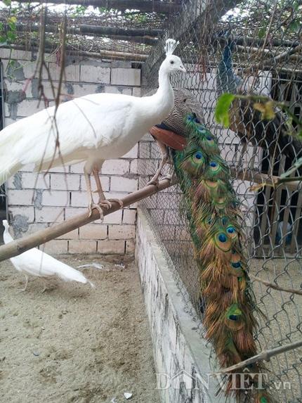 Để chim phát triển tốt, anh Quỳnh thiết kế trang trại rất gần gũi với tự nhiên, giúp chim có không gian bay, nhảy.